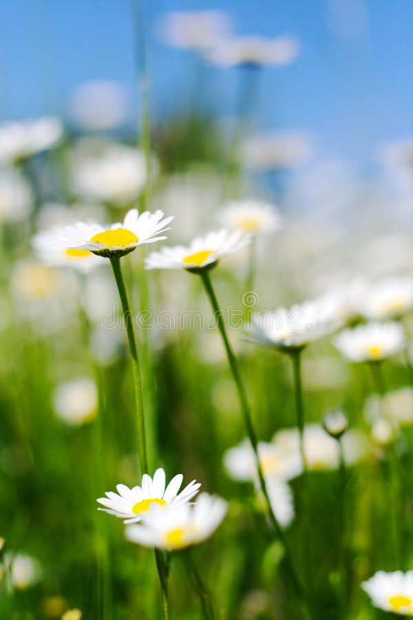Daisy. Garden full of marguerites. Picture taken during a spring sunny day stock image