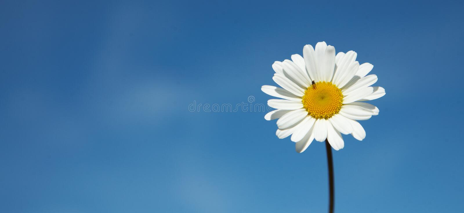 Download Daisy Royalty Free Stock Image - Image: 25936376