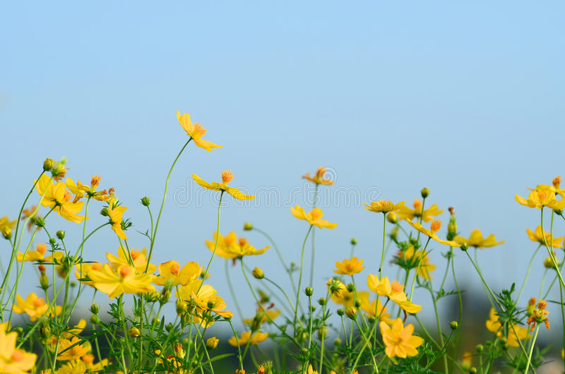Download Daisy stock image. Image of meadow, family, yellow, field - 26526839