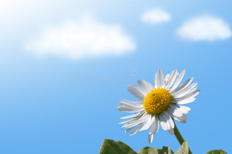 Daisy. From the frog perspective with sky and clouds royalty free stock image