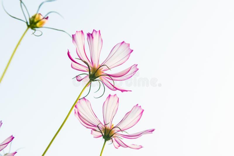 Download Daisy stock photo. Image of closeup, green, nature, close - 28631396