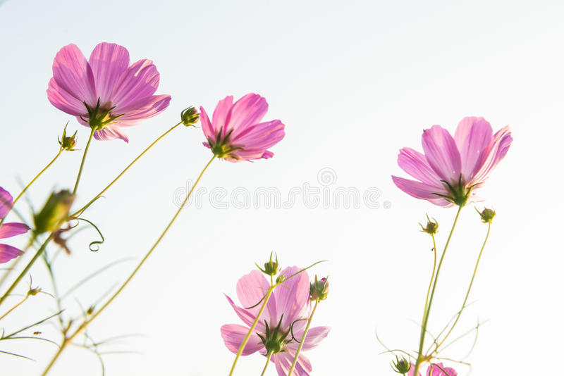 Download Daisy stock photo. Image of outdoors, plant, landscape - 28632386