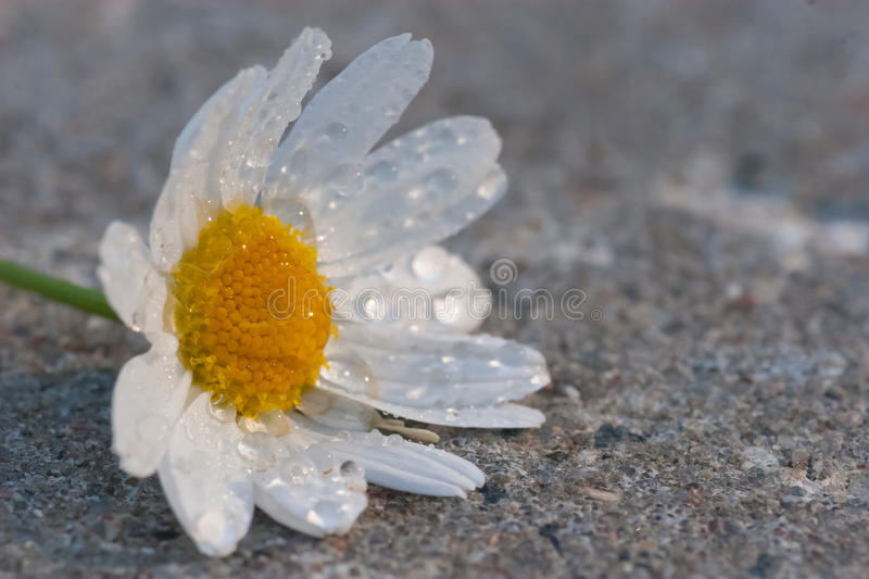 Download Daisy stock photo. Image of flower, daisy, tilholm, rays - 29084852