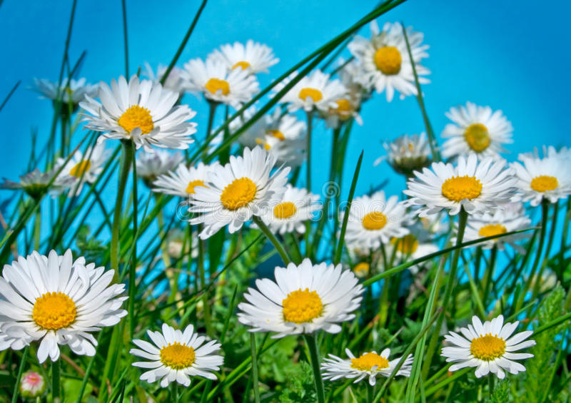 Download Daisy 4 Royalty Free Stock Photos - Image: 15013478