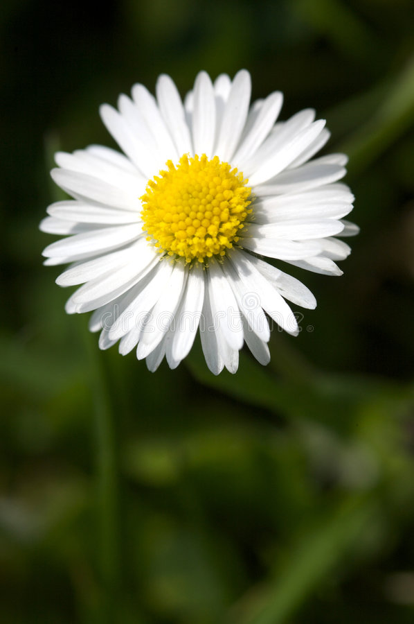 Download Daisy stock photo. Image of blossom, detail, close, bloom - 5179174