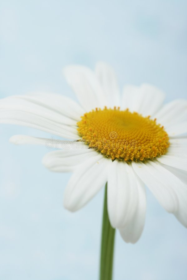 Download Daisy stock image. Image of fragility, spring, white, heart - 5282499