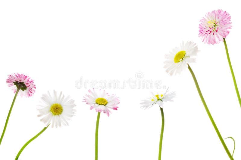 daisy zdjęcia royalty free