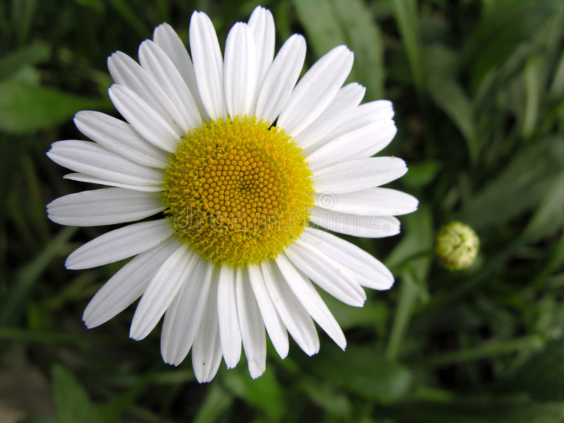 Daisy. Close-up royalty free stock images