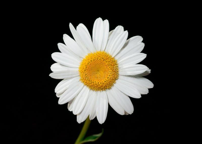 Daisy Free Public Domain Cc0 Image
