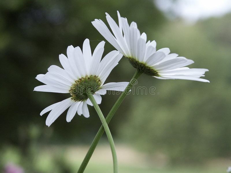 Download Daisy stock image. Image of flowers, daisies, botanical - 92293