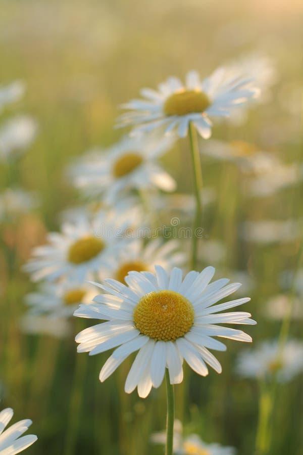 daisy zdjęcie stock