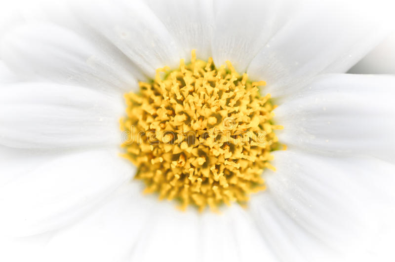 Daisy abstract background. With yellow centered circle, macro image, fading to white outwards royalty free stock images