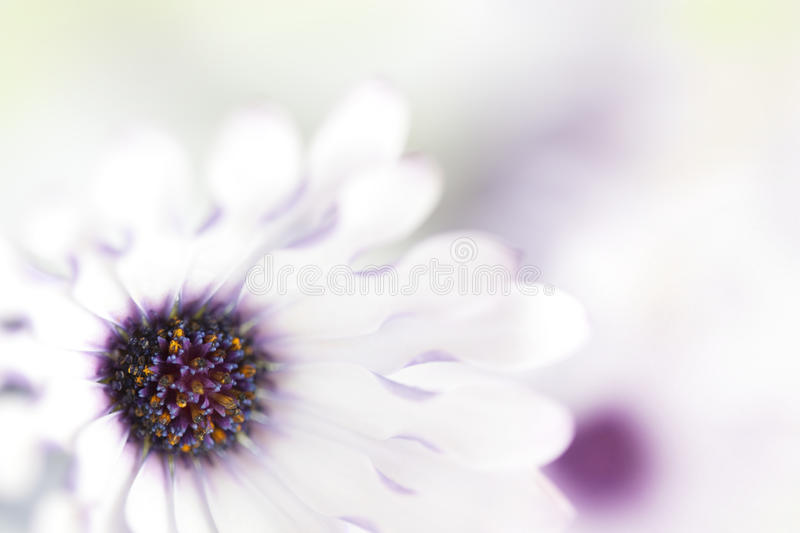 Daisy Background. Background of pretty white and purple daisies, in very soft focus