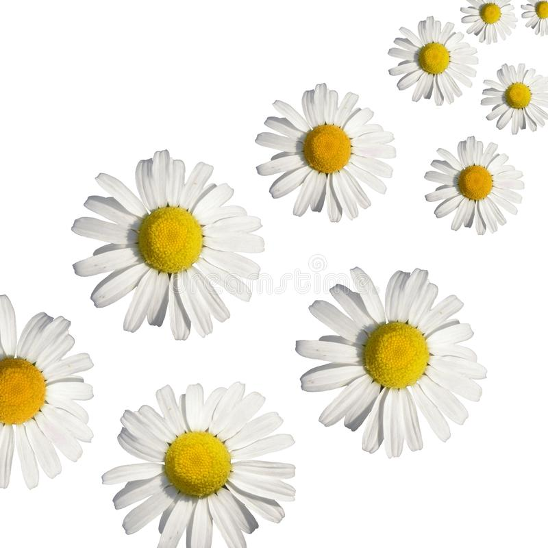 Download Daisy background stock image. Image of pretty, daisy - 10893083