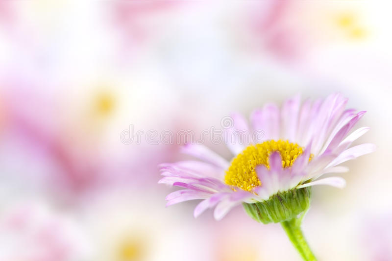 Daisy Background. Single delicate daisy, in soft focus over blurred background. This is erigeron karvinskianus, or Australian daisy
