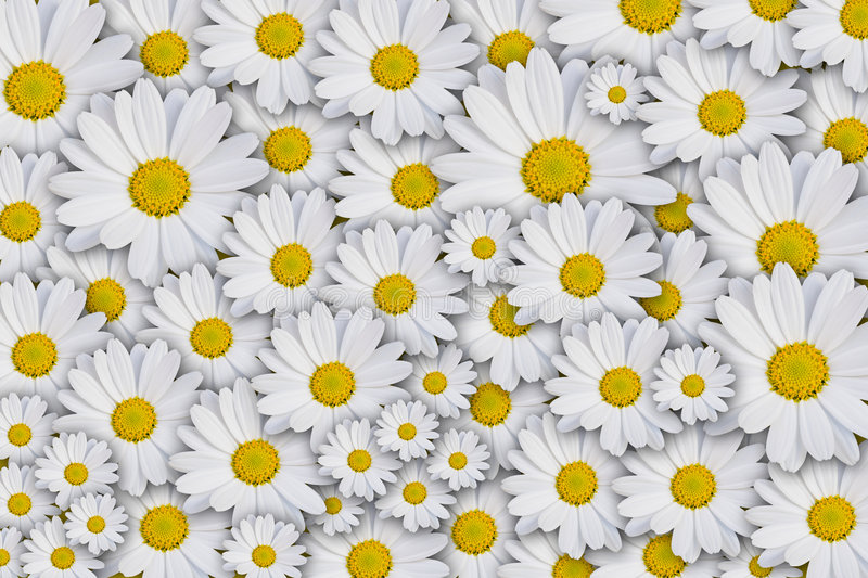 Daisy background. Hi-resolution daisy background, white and yellow royalty free stock photography