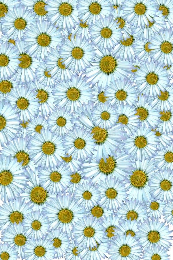 Daisy background. Beautiful daisy background yellow and white stock illustration