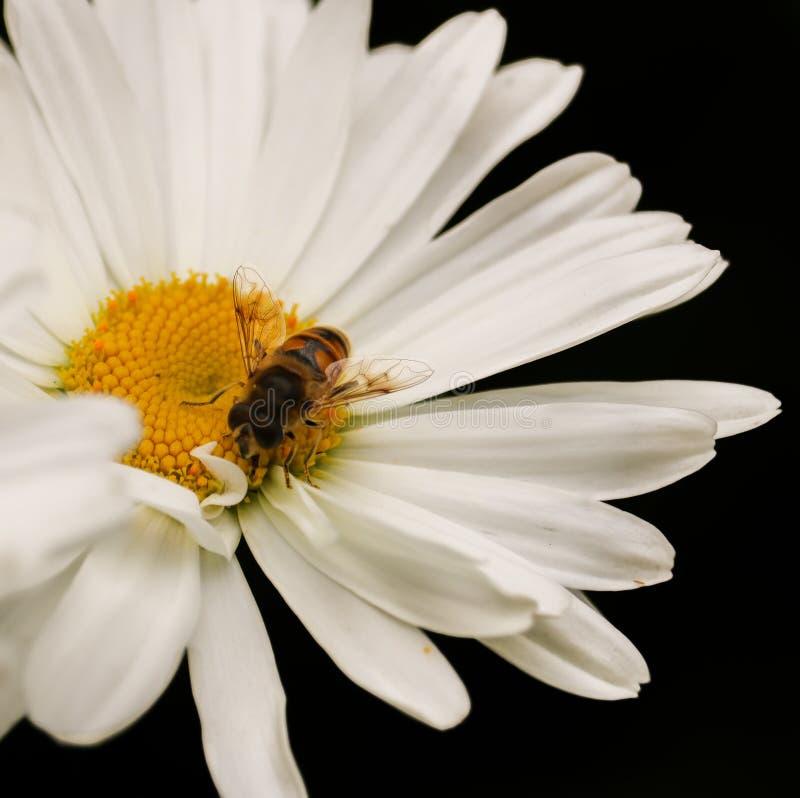 Daisy Bee image libre de droits