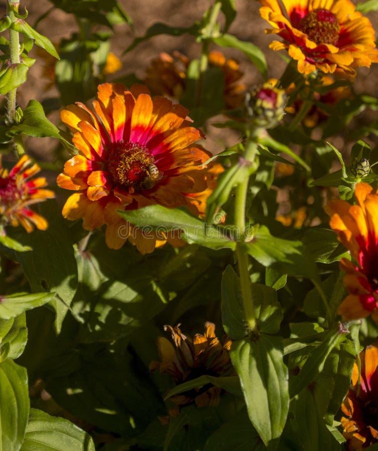 Daisy Bee imágenes de archivo libres de regalías