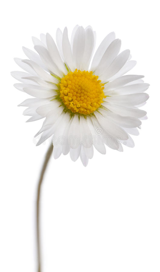Free Daisy - Bellis Perennis Stock Images - 19571534
