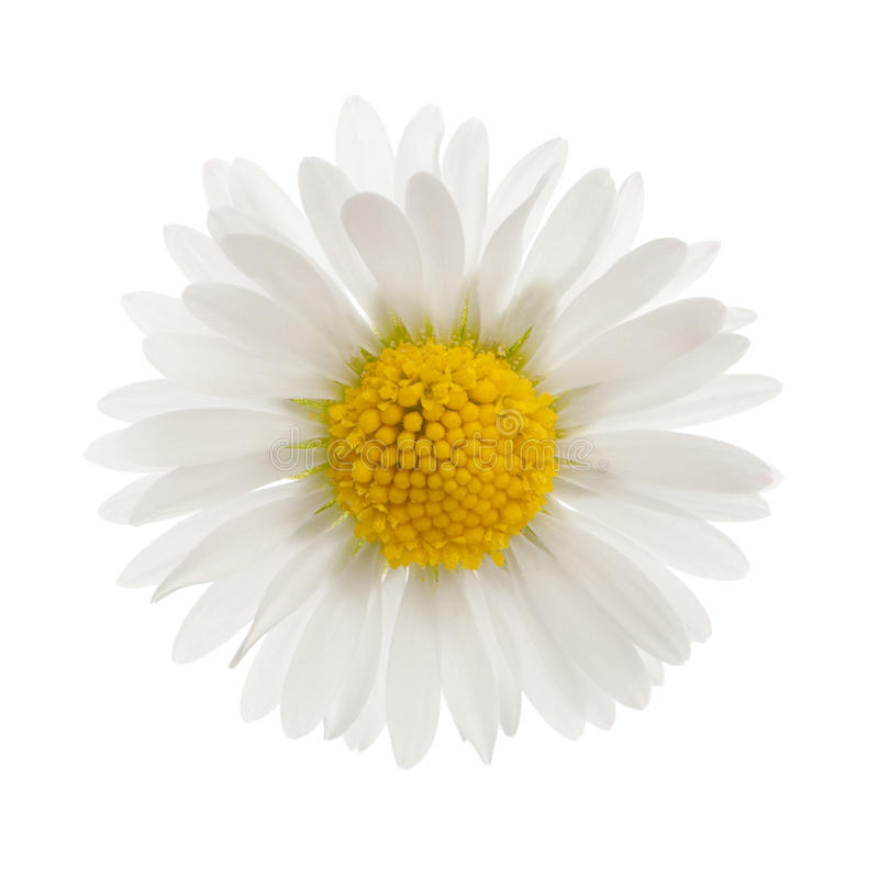 Free Daisy - Bellis Perennis Royalty Free Stock Photography - 19571547