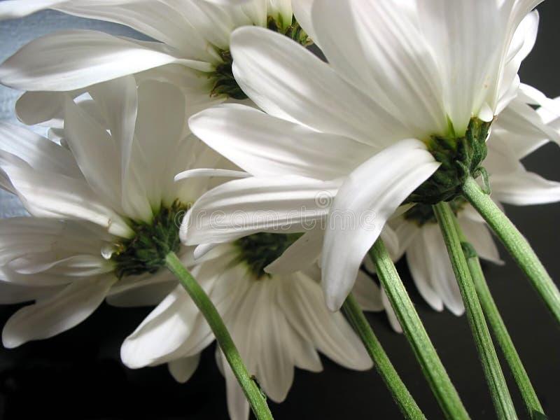 daisy białe fotografia royalty free