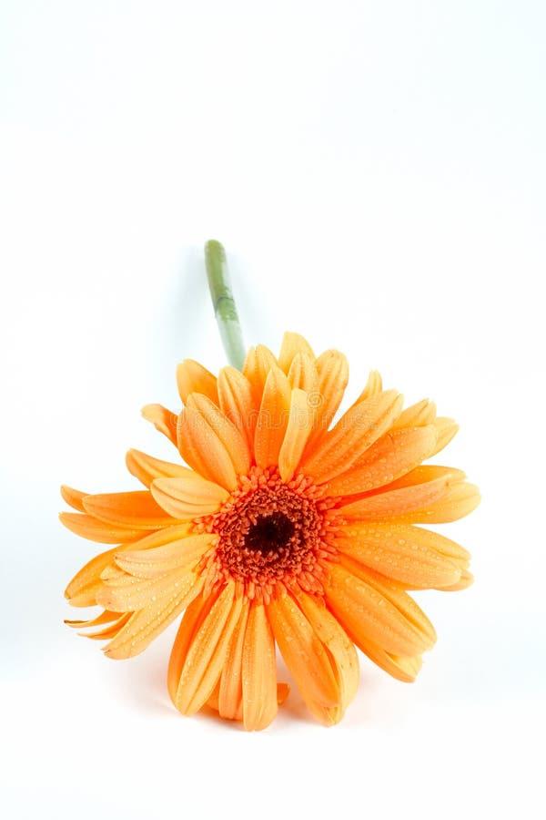 daisy białe tło zdjęcie stock
