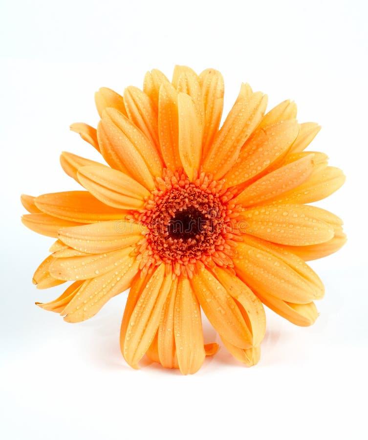 daisy białe tło obraz stock