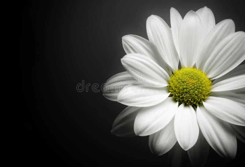 Daisy on black background. stock photography
