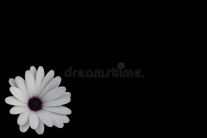 Daisy on Black Background Left royalty free stock image