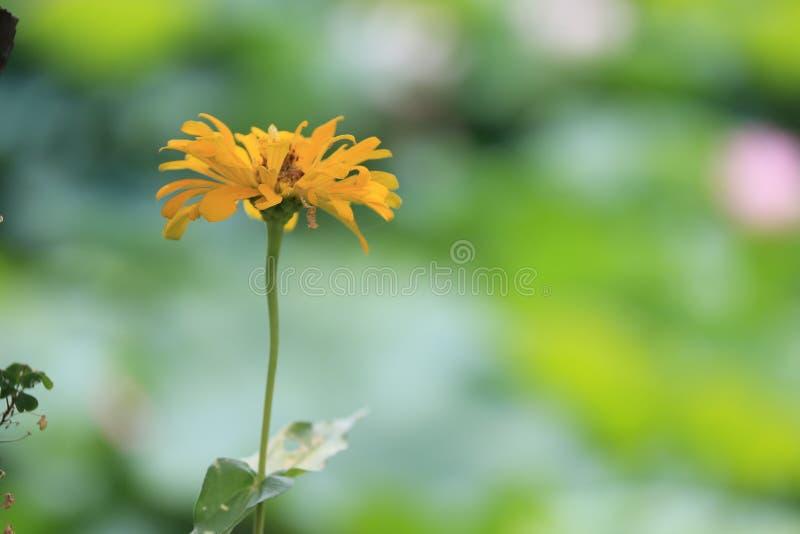 Daisy bloem, één van de reeks royalty-vrije stock fotografie