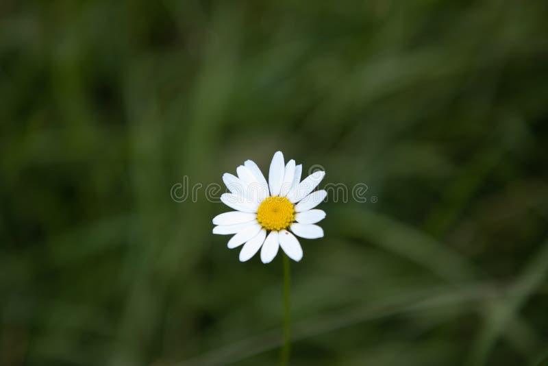 Daisy bloem in een midden van een weide stock foto's