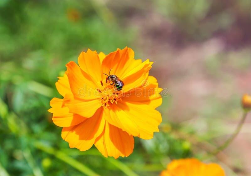Daisy bloem gele kleur met de bij en de lenteachtergrond royalty-vrije stock afbeelding