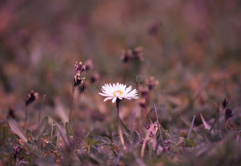 Daisy bloem het groeien in een gazon stock foto's