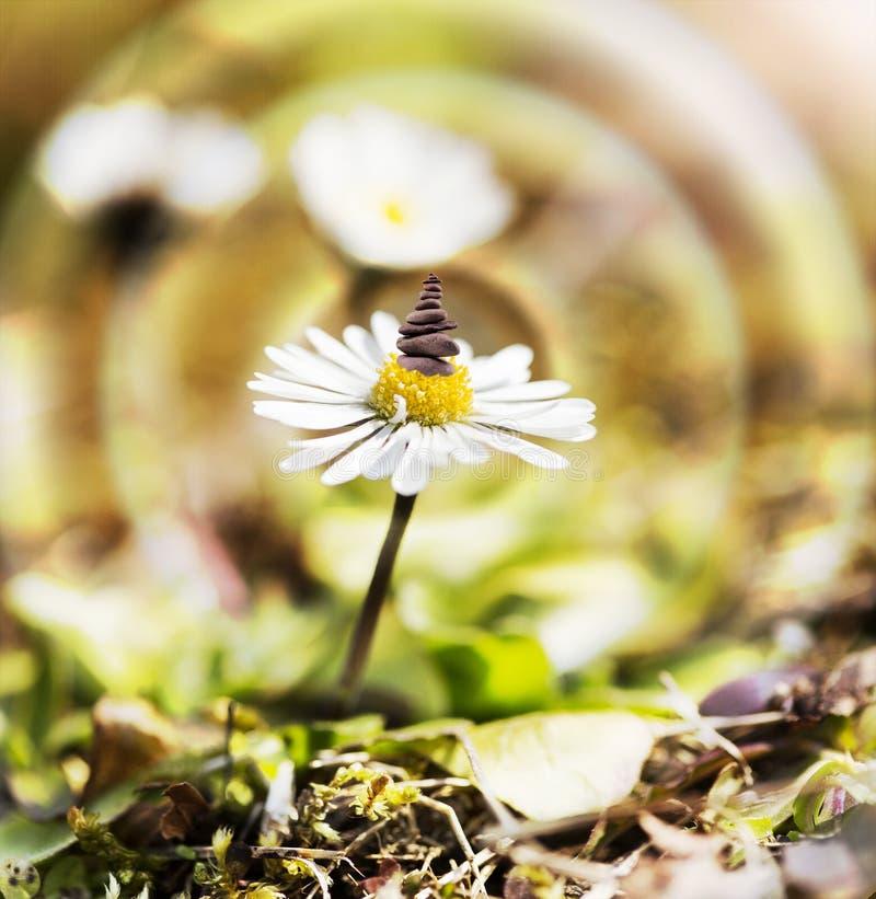 Daisy bloem met evenwichtige stenen royalty-vrije stock fotografie