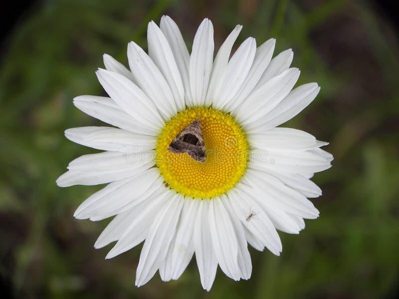 Daisy bloem met mot stock foto's