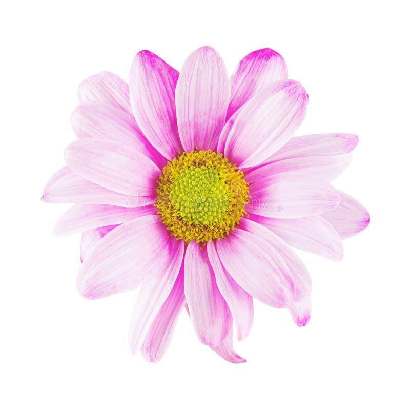 Daisy bloem met roze witte bloemblaadjes en het gele hart op wit isoleerden achtergrond Patroon voor de ontwerper royalty-vrije stock foto's