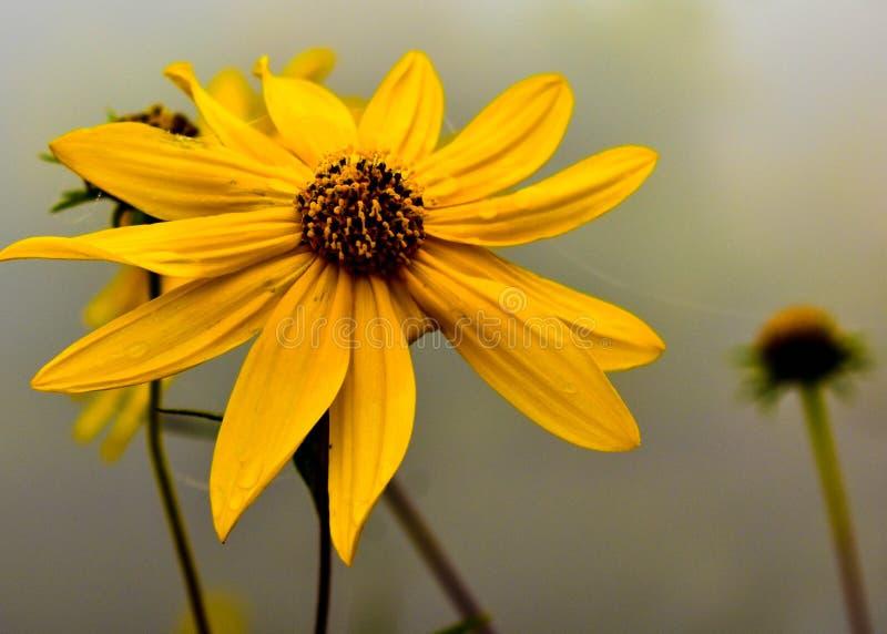 Daisy bloem in mist, Wisconsin stock fotografie