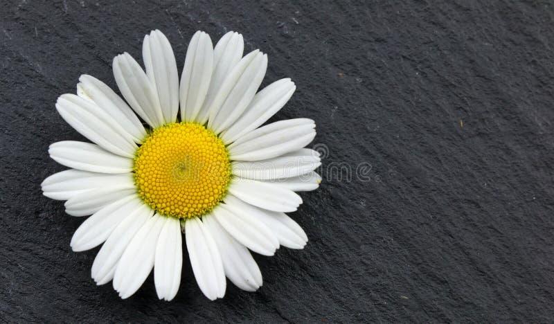 Daisy bloem op een lei grijze achtergrond Het art. van de canvasmuur stock foto's