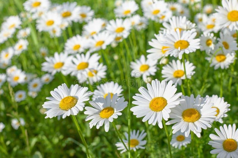 Daisy bloem op groene weide op een de zomerdag stock afbeelding