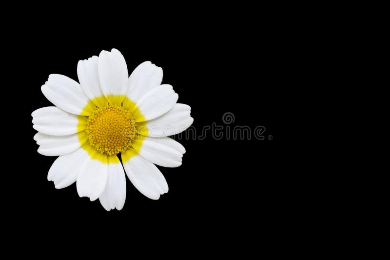 Daisy bloem op zwarte achtergrond royalty-vrije stock foto's