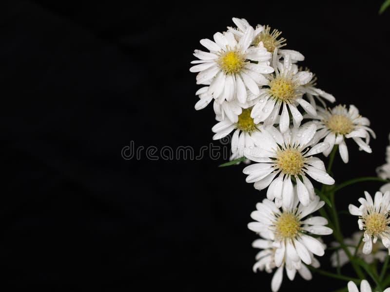 Daisy bloembloei in de tuin stock fotografie