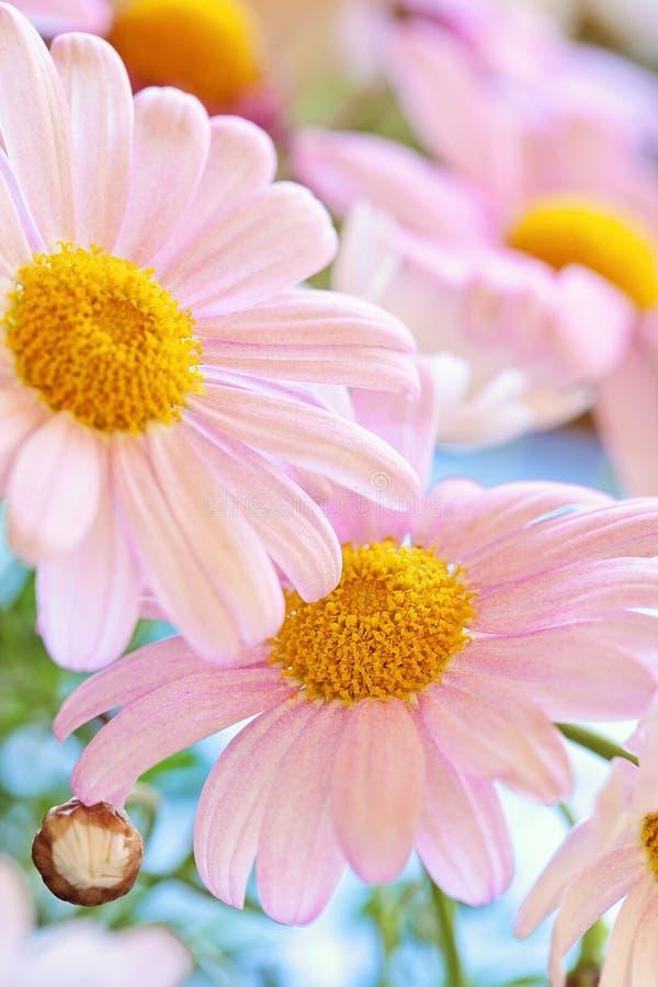 Daisy bloemen stock afbeelding
