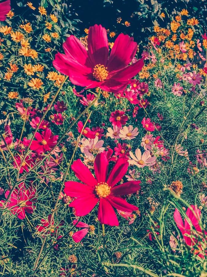 Daisy bloemen in de zonnige tuin royalty-vrije stock foto's