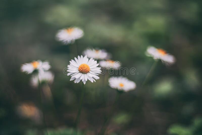 Daisy bloemen die in schaduw bloeien stock foto
