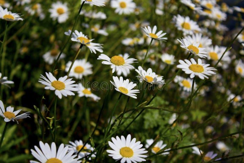 Daisy bloemen in een weide royalty-vrije stock foto