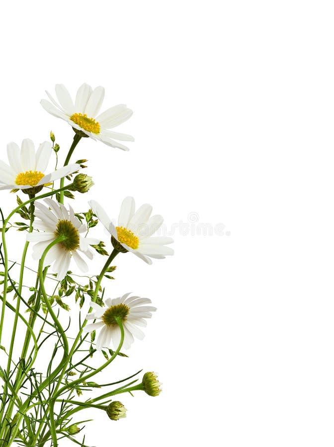 Daisy bloemen en gras in een hoekflorale structuur royalty-vrije stock afbeelding