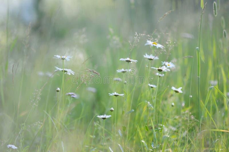 Daisy bloemen in het lange gras royalty-vrije stock afbeelding