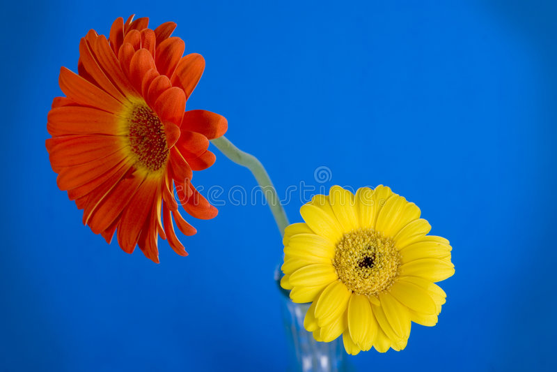 Daisy on blue. Orange/yellow daisy on black background stock photo