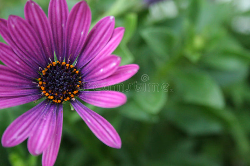 Daisy Blurred Green Background pourpre photo stock